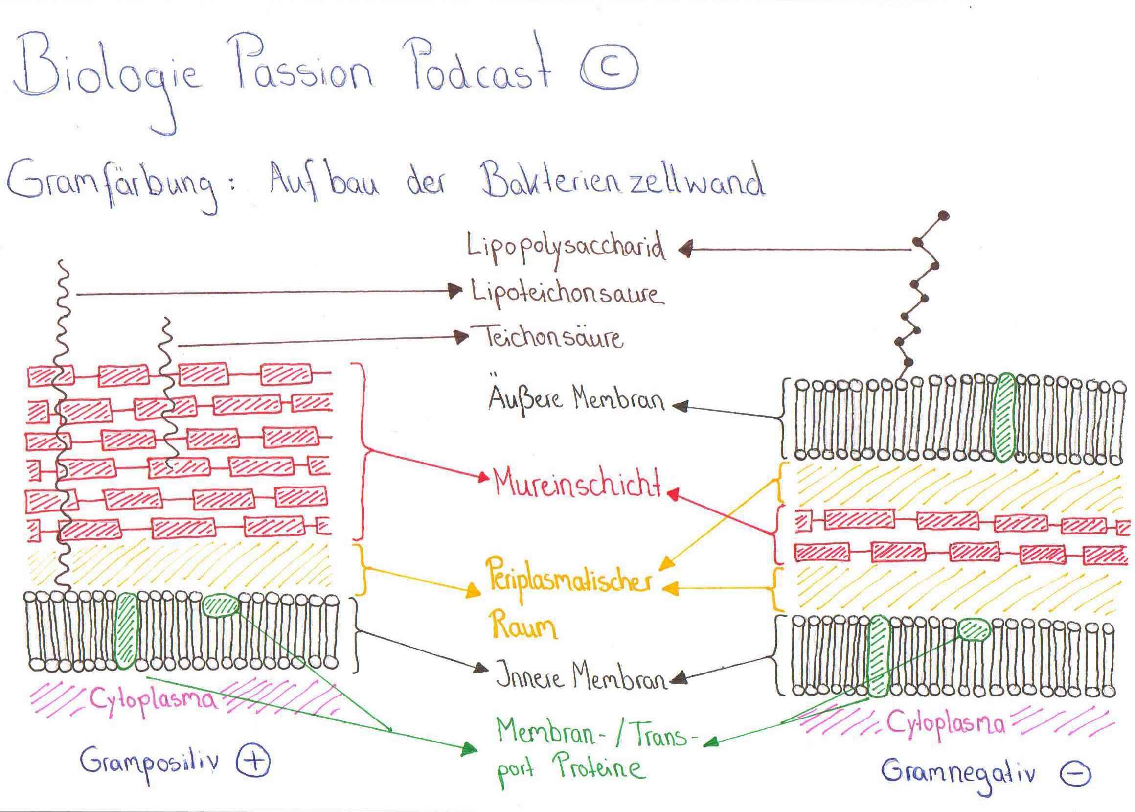 Gramfärbung - Unterschiede im Aufbau der Bakterienzellwand - Biologie Passion Podcast