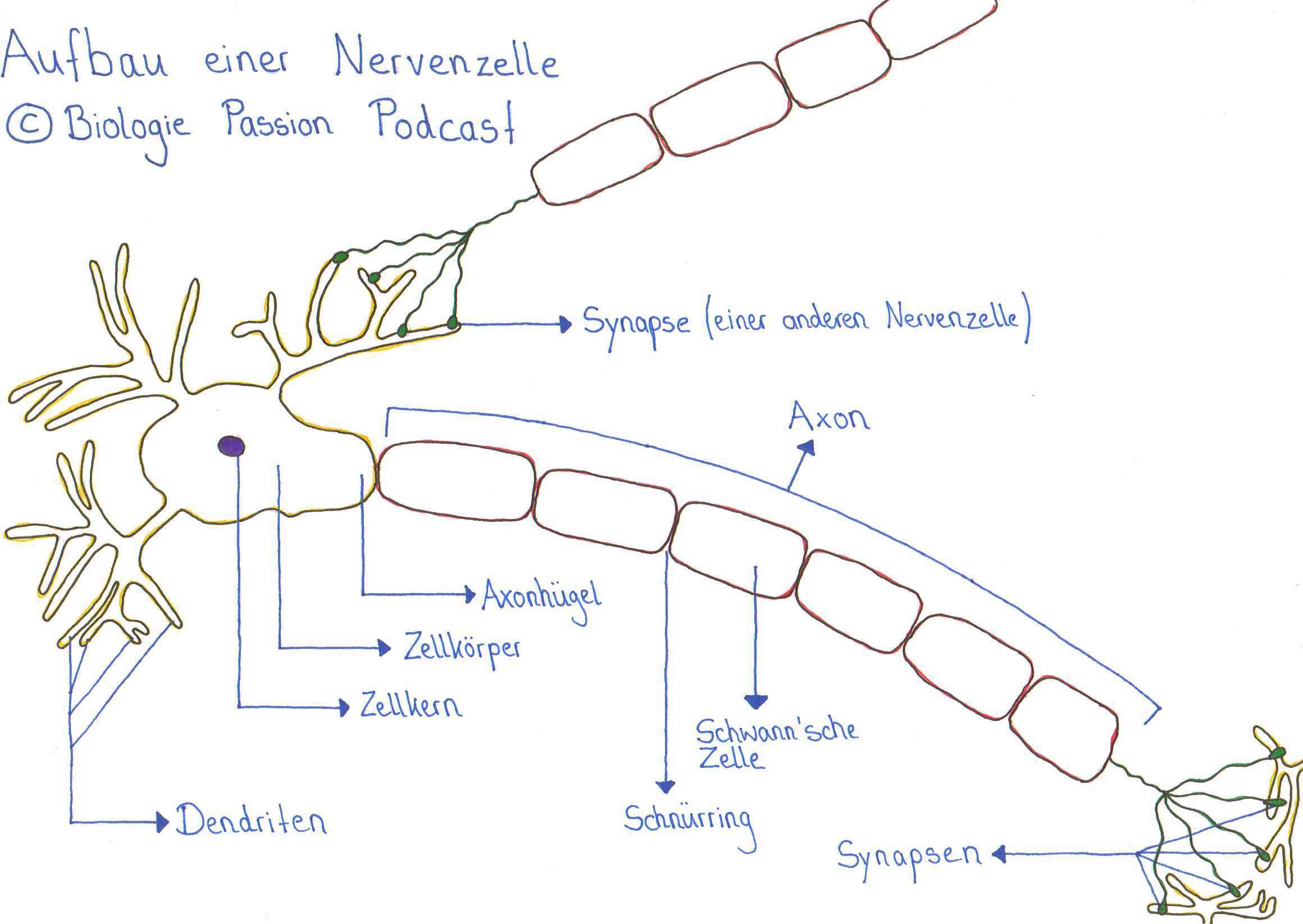 Aufbau einer Nervenzelle - Biologie Passion Podcast