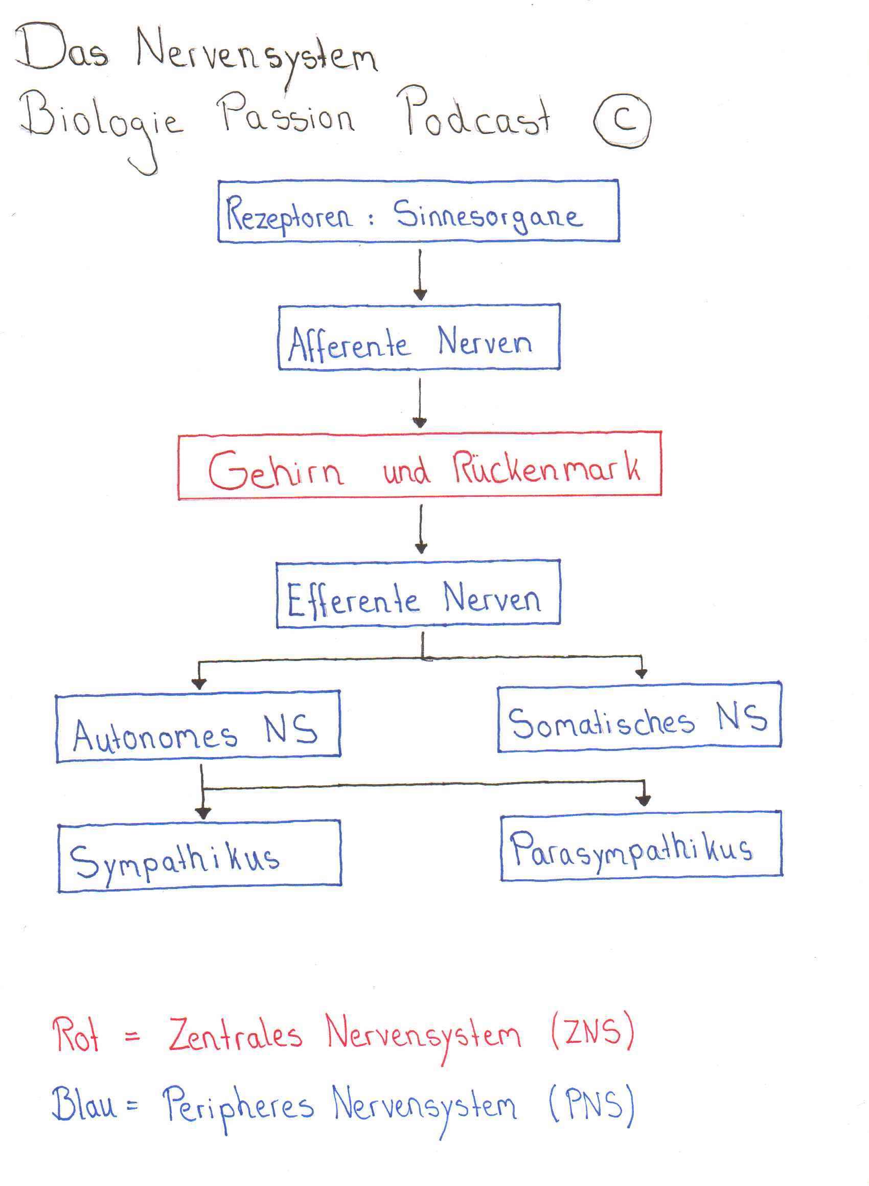 Folge 021 - Das Nervensystem | Neurobiologie Teil 1
