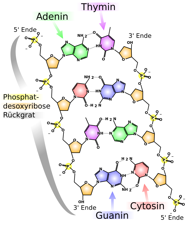 Aufbau der DNA