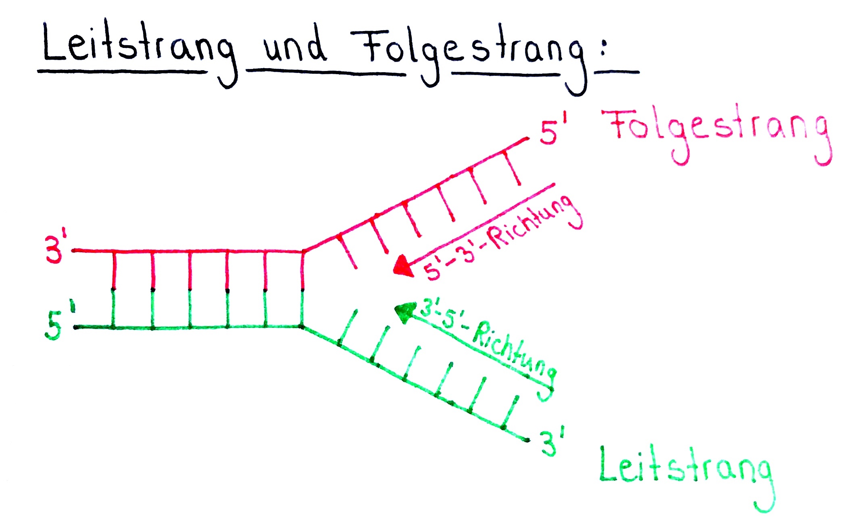 DNA Leitstrang und Folgestrang Elongationsphase