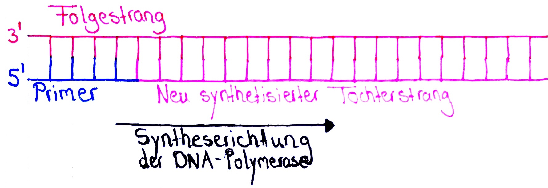 DNA Replikation - DNA-Verlust an den Telomeren der Tochterstränge (Terminationsphase) - Biologie Passion Podcast 1 von 2